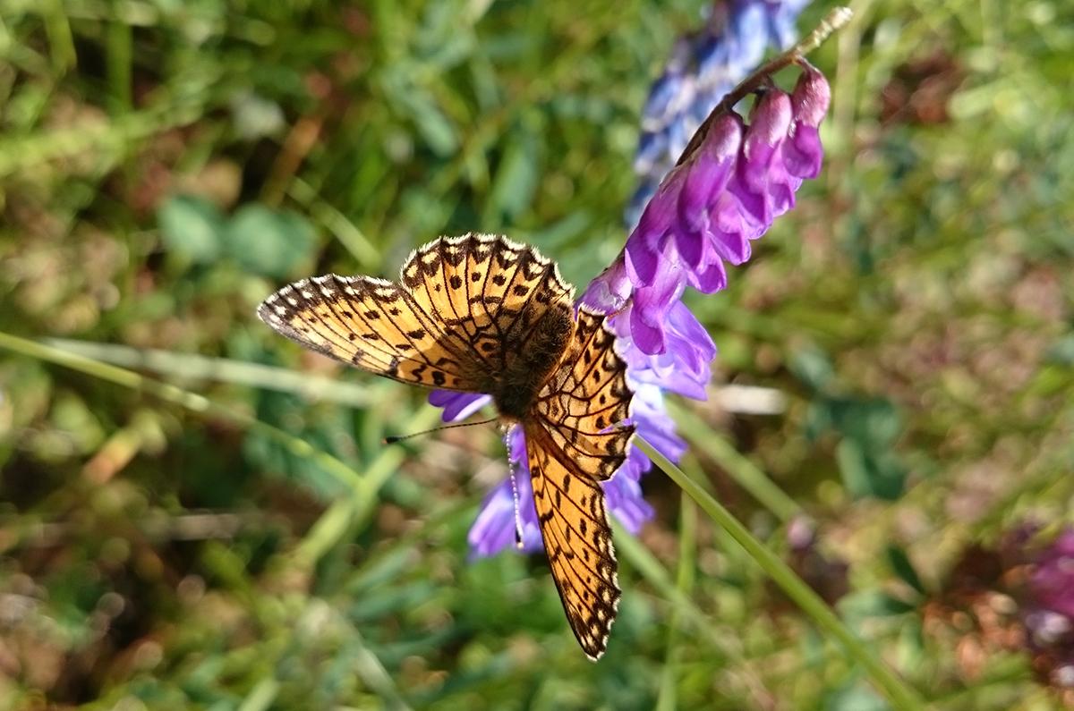 Myrpärlemofjäril på lila blomma