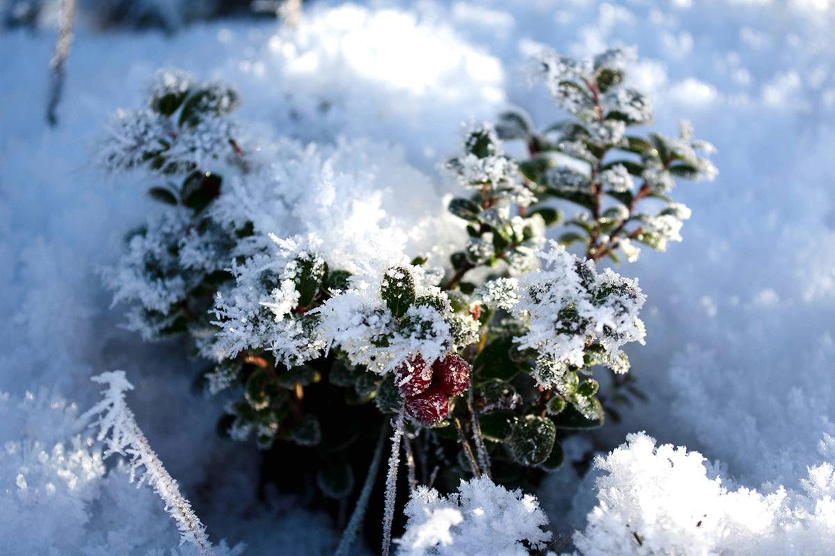 Lingonris i snö