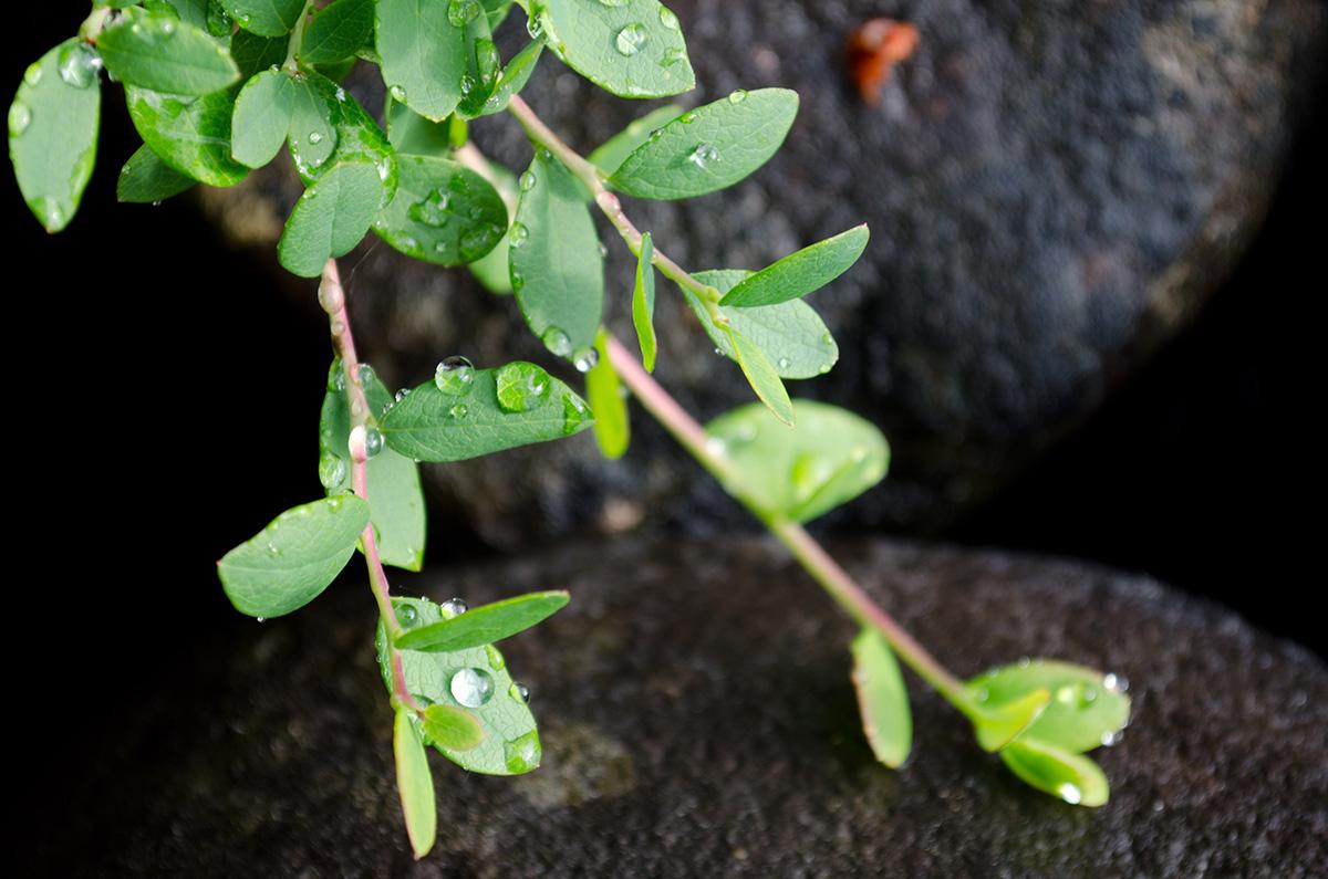 gröna blad mot sten