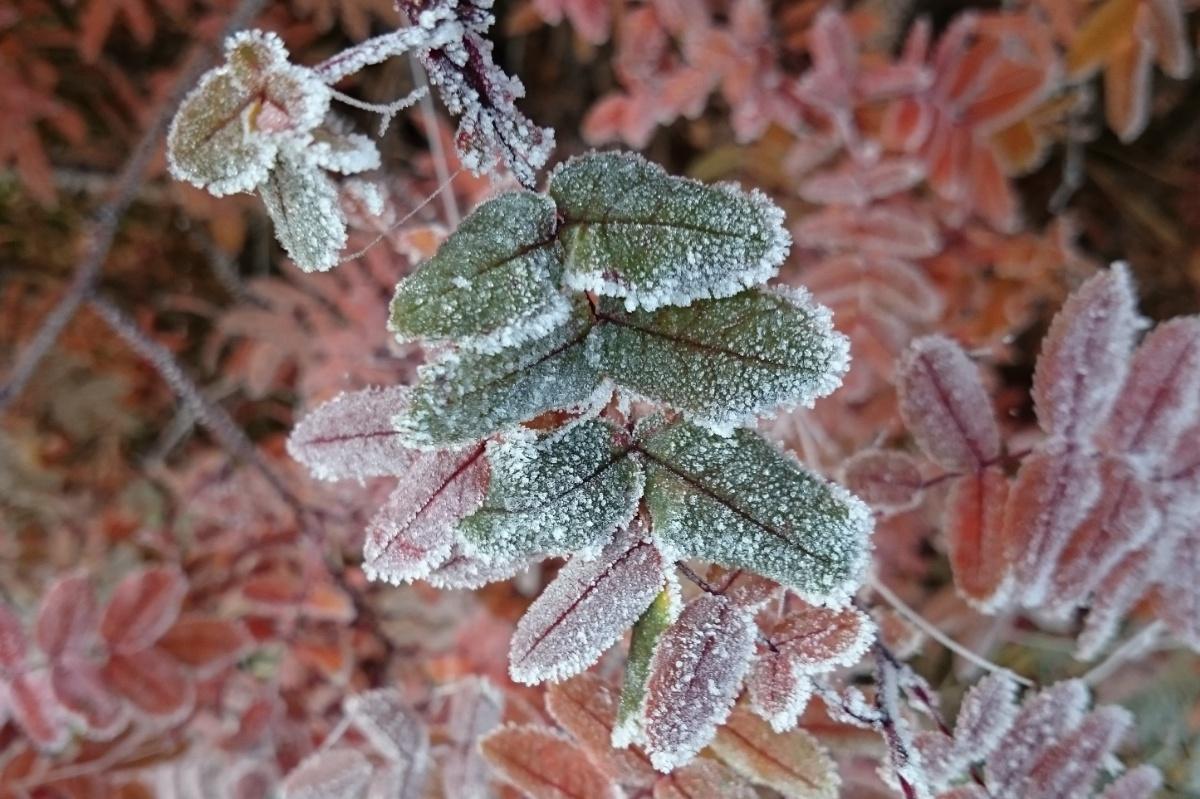 Frostigt höstlöv