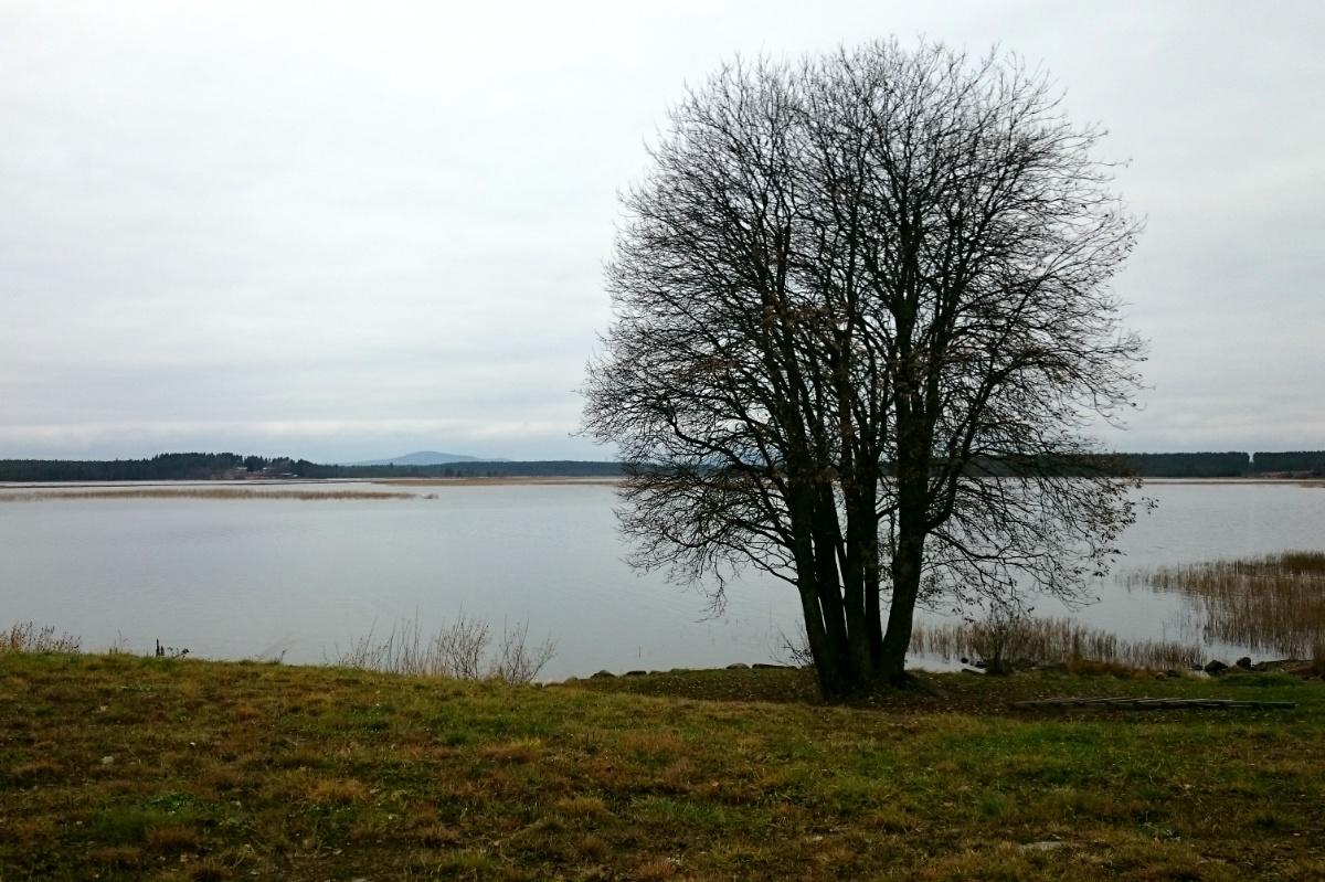 Kalt träd vid sjö