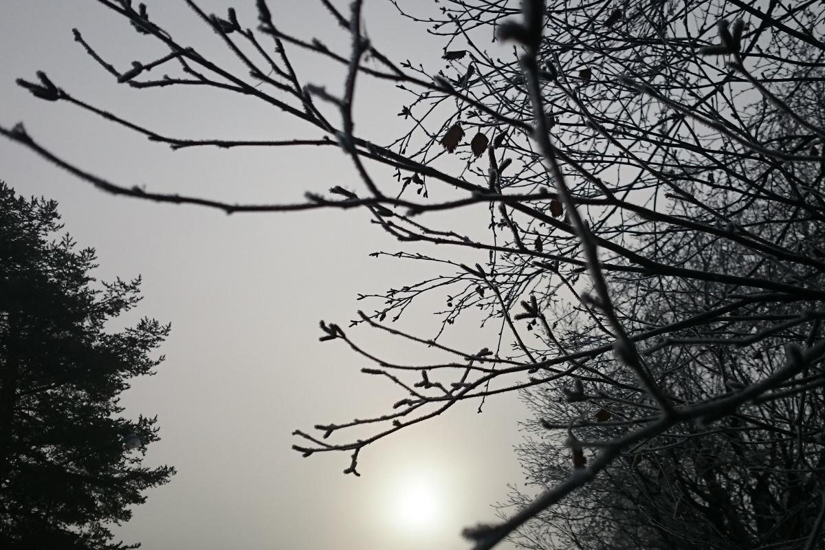 Kvistar mot grå himmel
